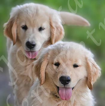 Golden Retriever Breeders Nebraska - JASARA GOLDEN