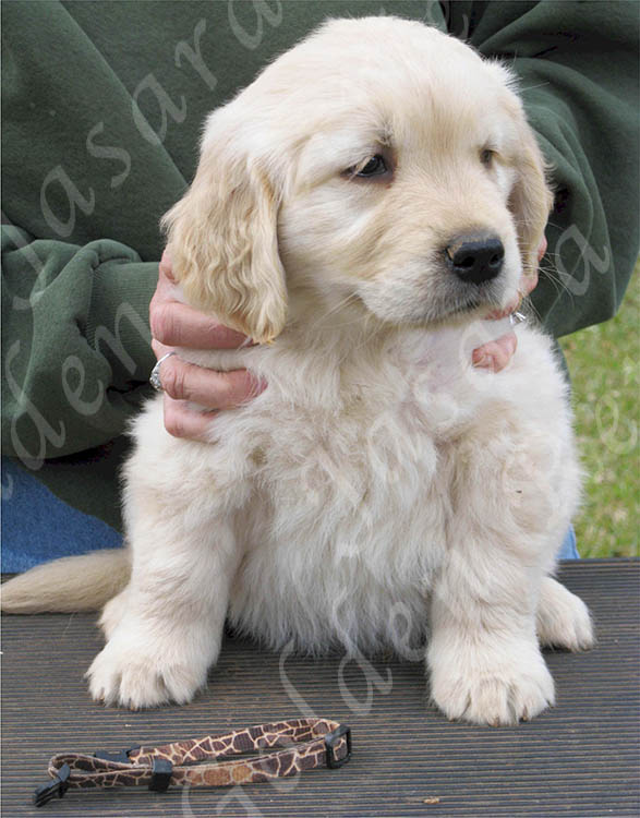 Golden Retriever Stud Dogs Ch Ducat Watermark Thnkful 4